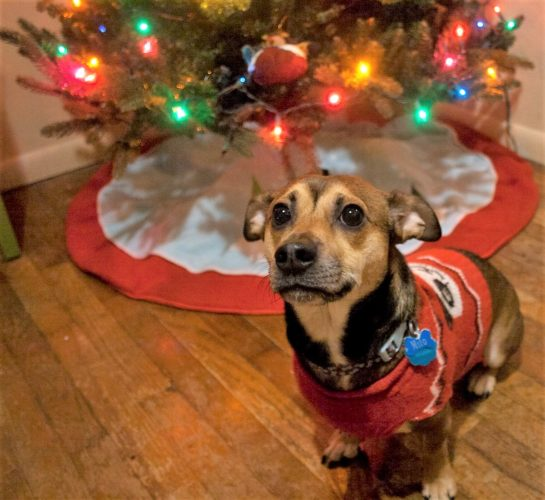 Photo Provided Moundsville resident Amanda Swann's dog, Milo, is decked out in festive attire as Christmas approaches.