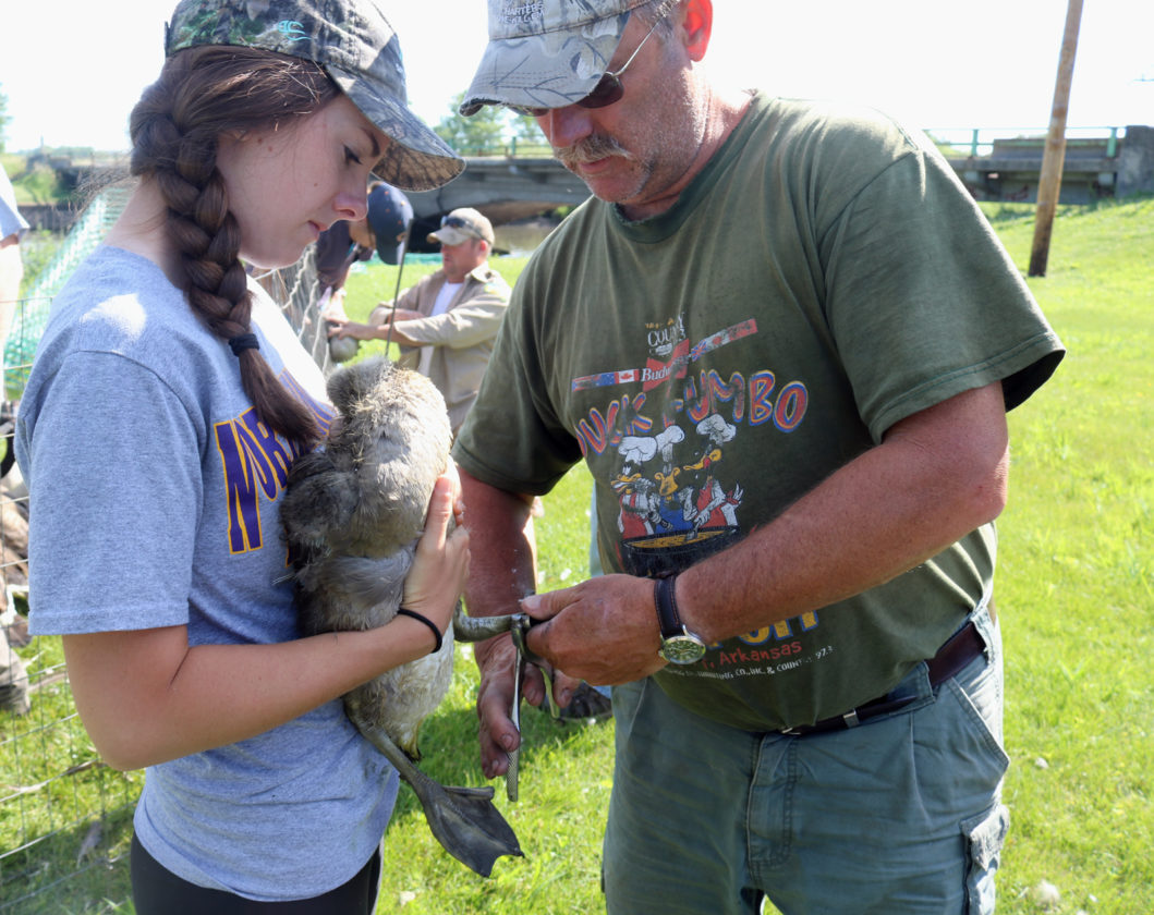 T-R PHOTO BY ADAM SODDERS Allison Stegmann holds a young Canada goose for Tom Smith of the Iowa Department of Natural Resources to band before returning the creature to a nearby waterway Tuesday morning.
