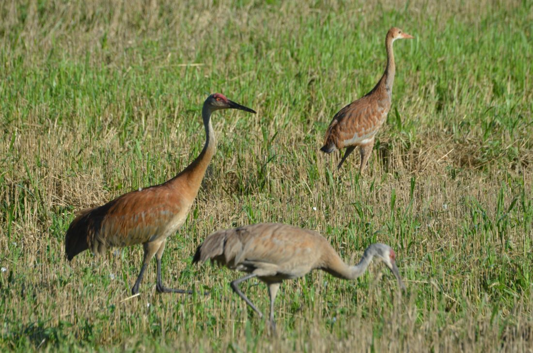 T-R PHOTO BY GARRY BRANDENBURG Sandhill Cranes (Grus canadensis) hunt for insects, small frogs, worms or small rodents in a harvested grain field in central Wisconsin. This is a family unit of the parents and their one surviving chick. A bald red crown and bustlelike rear feathers help define this species. Crane calls can best be described as a rolling bugled garoo-a-a-a that is repeated numerous times. The adult cranes stand three to four feet tall and have wingspans of six to seven feet. When flying, the neck is extended and its legs are normally held straight back. Formation flying is common for this big bird, a master at long range flying.