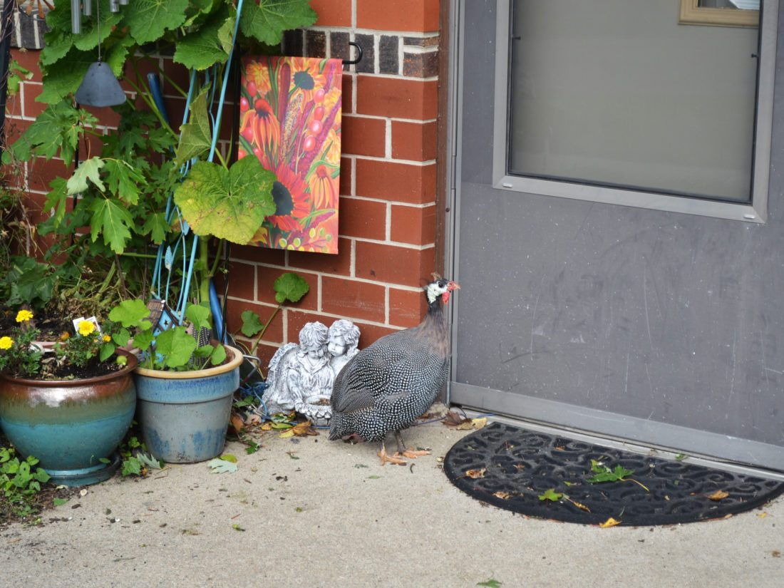 T-R PHOTO BY SARA JORDAN-HEINTZ Hank, the wild guinea fowl, frequently visits the residents of Crestview Apartments, located at 202 N. 2nd Ave. He does not live on the premises, but comes and goes as he pleases. A beggar for food, he has been known to peck on people's doors.