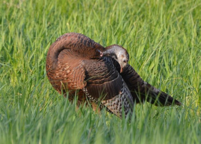 T-R PHOTOs BY GARRY BRANDENBURG A hen turkey meanders through the remaining green grasses of a field edge. While she was caught pecking at any remaining bugs, or plant seeds, she took time out to inspect her wing feathers. Capturing wildlife images with a camera and long lens is just one way to add to ones list of outdoor memories. And should the right opportunity avail itself, a fall turkey hunting license can be purchased, and then if a bird is taken, it can be made ready in a nice warm oven for any upcoming Christmas family gathering.