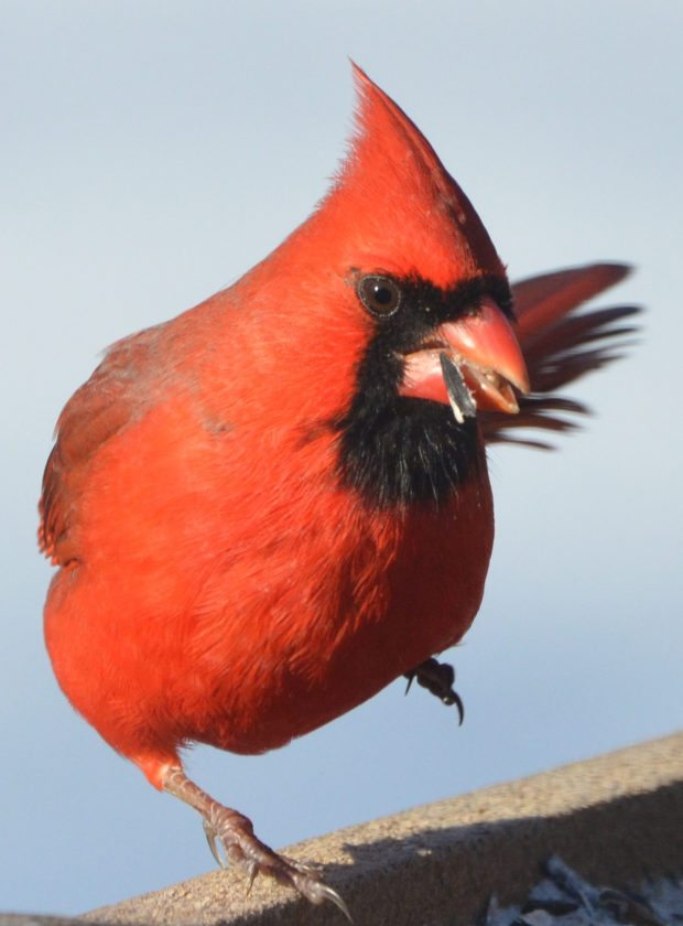 T-R PHOTO BY GARRY BRANDENBURG Earlier this week the wind blew really hard. This Cardinal would have been swept off the feeder edge if not for its tight grip by its right foot. The bird managed to stay in place to grab another sunflower seed. This month, and into early January of 2018, is the National Audubon's 118th Christmas Bird Count. The official count days begin on Dec. 14 and end Jan. 5. Participants will record as many species of overwintering birds seen within a 15-mile diameter of a specific location. Some can also chose to record all bird species and numbers at a local feeder site.