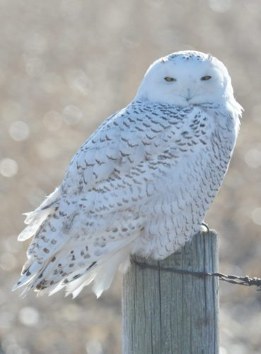 T-R PHOTO BY GARRY BRANDENBURG Last Tuesday, a call was received that a snowy owl was observed in rural northwest Marshall County. Sure enough, the big white bird was still at the scene sitting on top of a wooden fence post. That is exactly the situation this author could only hope for and my wish came true. Many photos were obtained to document the event.  Biologists and ornithologists use the term 'irruption' for unusual arrivals of lots of birds into parts of the country where they are not normally found.