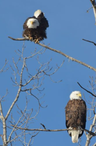 PHOTO BY GARRY BRANDENBURG  A pair of Bald Eagles watch intently all the activities on the ground below them including this photographer. The pair of raptors were perched in a tall cottonwood tree not far from Albion on Jan. 13. While my long lens was capturing their images, they were most certainly doing what comes naturally to them, watching me with eyes at least four to eight times sharper than human eyes. I had the advantage of being inside my truck, window down, and using the vehicle as my photo blind.  It is likely that this pair of eagles may be just a few of past successful nesting birds in Marshall County. At least eight known eagle nests can be attributed to local sites. Territorial defense of their nest is taking place right now in preparation for another chance to raise a new generation of bald eagles during 2018.