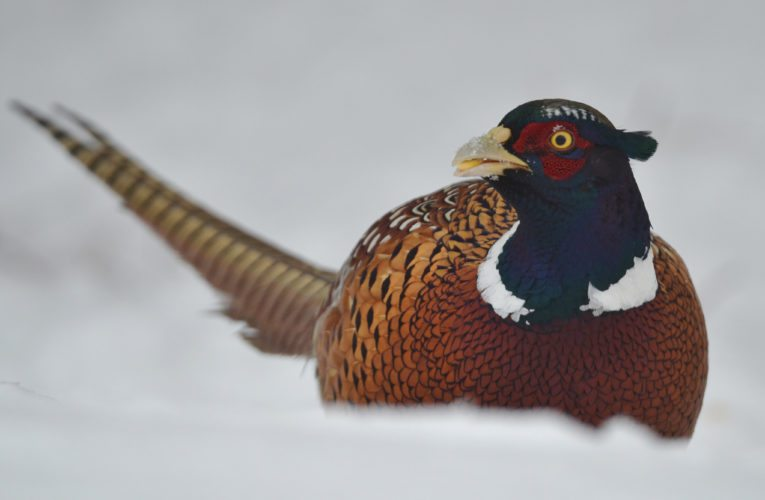 PHOTO BY GARRY BRANDENBURG  A robust rooster pheasant gets ready to swallow a kernel of corn. His bright and rustic plumage, green head and white neck band are characteristic markings for this game bird. This image was made from inside a well constructed blind near winter habitat for this species and many other resident species of wildlife.