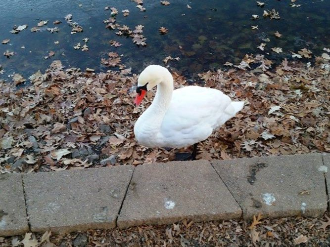 CONTRIBUTED PHOTO Bob, the popular mute swan that resides at Lake Woodmere at Riverside Cemetery, was attacked there Monday morning by an at-large dog. He has been in the care of a veterinarian since the attack, and is in critical condition.