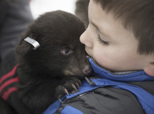 AP / Haley Nelson, Pittsburgh Post-Gazette  Camden Marx, 7, holds a black bear cub after it received ear tags March 20 in Cambria County, Pennsylvania. The Pennsylvania Game Commission tracks female black bears to their dens with radio collars to check their health and tag the ears of their cubs. Occasionally, the Game Commission Officers will bring along friends or family to hold bear cubs and learn about the wildlife firsthand.