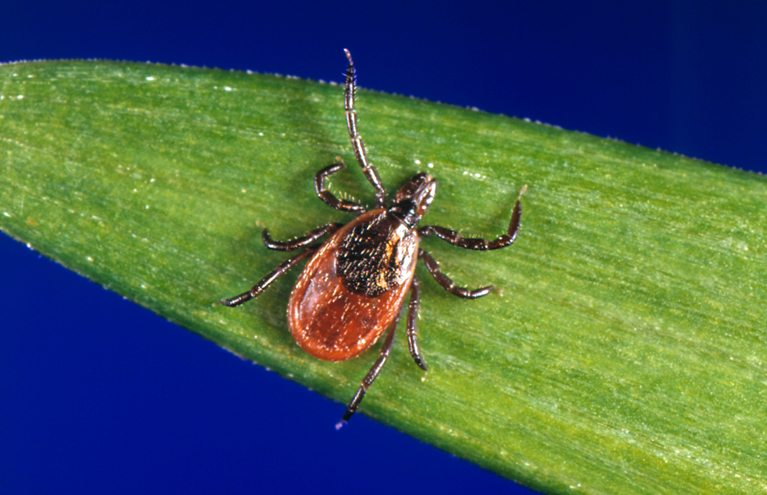 """AP Diagnosing whether a bite by a blacklegged tick — also known as a deer tick — caused Lyme disease or something else can be difficult. But scientists are developing a new way to catch the disease early, using a """"signature"""" of molecules in patients' blood."""