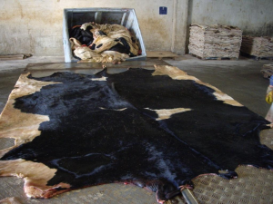 Wet Salted Cattle Hides for sale