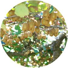 Kiwi plants for sale in India