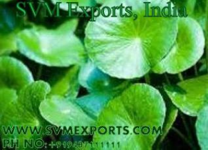 Centella Asiatica Leaves Exporters From India