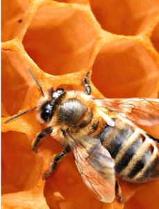 African honeybee removal services