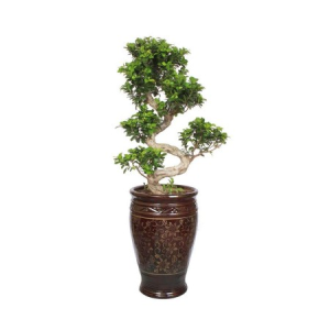 EXCLUSIVE 15 YEARS OLD S-SHAPED FICUS BONSAI PLANT