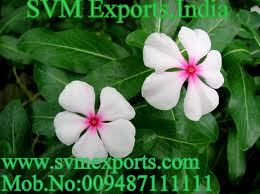Vinca Rosea Leaves Exporters From SVM Exports India