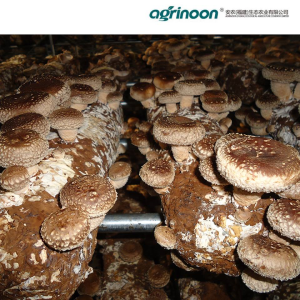 Shiitake Mushroom Spawn & Mushroom Logs provided by Agrinoon