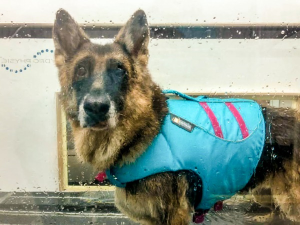 Certified hydrotherapist, Underwater treadmill dogs, Hydrotherapy Centre for dogs Singapore