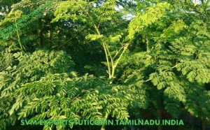 Indian Moringa Tea(Tea Cut Leaf) Exporters
