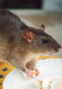 Rodent control & Removal services