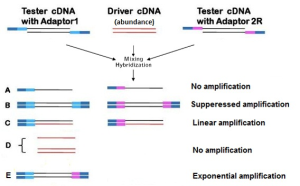 SSH cDNA Library