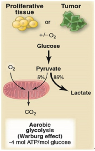aerobic glycolysis warburg effect