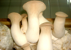 Buy Best King Oyster Mushroom  from agrinoon.com