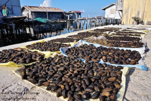 Dried Sea Cucumber Supply