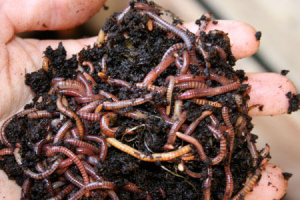 Red Wigglers ( Vermi)