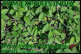 Gymnema Leaves Exporters From SVM Exports India