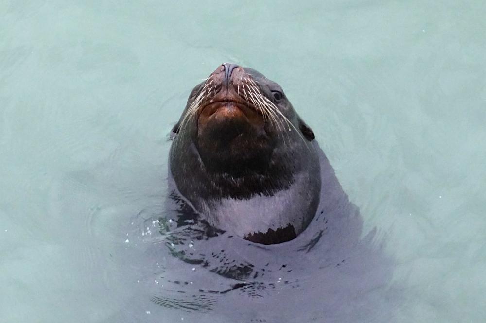 Sea Lion floating