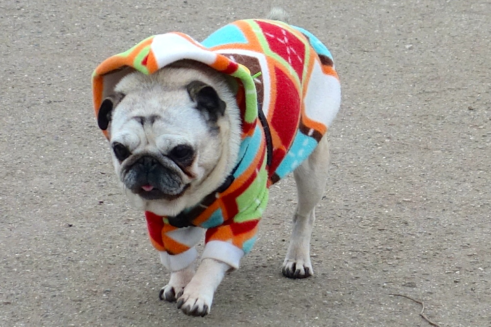 Pacific Heights Pug Day