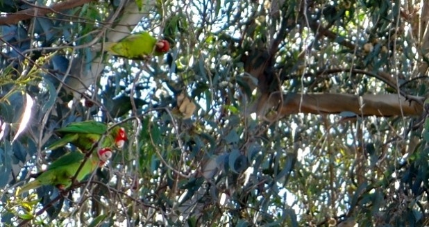 Three Parrots in Trees