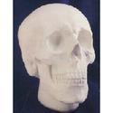 Anatomical Skull