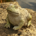 Croak Toad