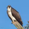 Osprey_fledgeling-8912