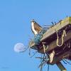 Osprey_fledgeling-8925