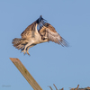 Osprey_fledgeling-8849