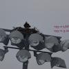 Osprey___2_in_field_nest.__