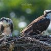 Osprey_of_the_jersey_shore___2018_-_34