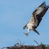 Osprey_of_the_jersey_shore___2018_-_40