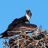 Osprey_of_the_jersey_shore___2018_-_38