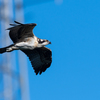 Osprey_of_the_jersey_shore___2018_-_31