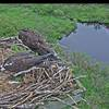 Ospreys_w_chicks