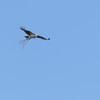 Osprey_nesting_material
