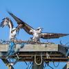 Osprey_chase-9143-2