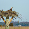 Osprey_2019_more_nest_built_resize