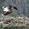 Osprey_mating_march_2019