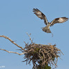_mg_0770-male-osprey-bringing-sticks-to-nest-at-clam-pass