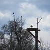 2_osprey___goose_3-26-19