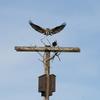 Osprey_new_nest_3-31-19_tbrandt_(2)