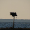Sandyhookmarshplatformosprey